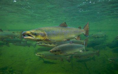 Fisch des Jahres 2018 – Der Atlantische Lachs