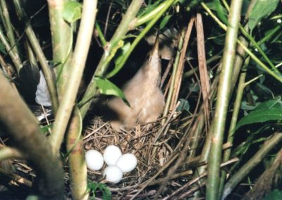 Zwergrohrdommel Altvogel mit Eiern im Nest