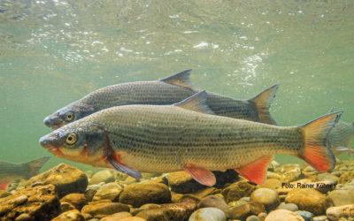 Fisch des Jahres 2020 – Die Nase