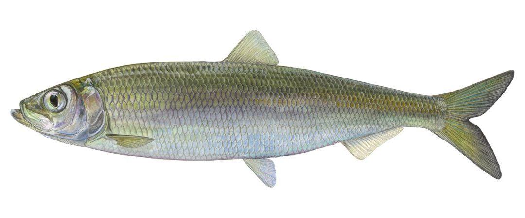Fisch des Jahres 2021